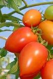 Rote Tomaten im Gewächshaus Stockbild