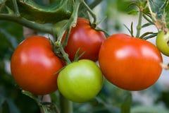 Rote Tomaten reif und betriebsbereit zum Sammeln lizenzfreie stockfotos