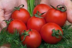 Rote Tomaten und Dill lizenzfreie stockbilder