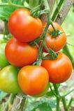 Rote Tomaten wachsen im Garten Stockfotos
