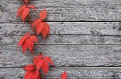 Rote Traube verlässt auf einer alten grauen Wand Stockfoto