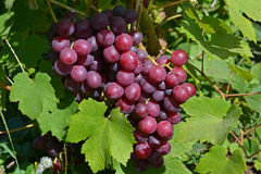 Rote Trauben auf einem Hintergrund von grünen Blättern stockbild