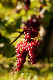Rote Trauben auf Weinstock lizenzfreie stockfotografie