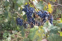 Rote Trauben, die an einem Busch an einem sonnigen schönen Tag hängen Sonnige Bündel der roten Weinrebe auf Weinberg Stockbilder
