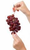 Rote Trauben klemmen und auswählend Stockfoto