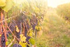 Rote Trauben rudern in einem Weinberg während des Herbstes stockfotos
