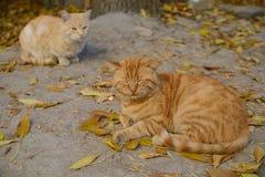 Rote traurige Katze zwei stockfotos