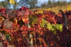 Rote Triebtraube mit einem Hintergrund von roten und gelben Trauben Stockfotos