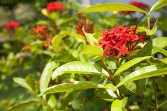 Rote tropische Blumen auf einem Hintergrund von grünen Blättern Stockbild