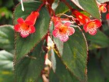 Rote tropische Blumen und roter Rand der Blätter lizenzfreies stockfoto