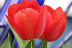 Rote Tulip Blossoms Stockbild