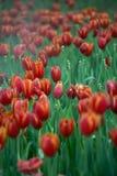 Rote Tulip Garden Stockfotos