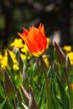 Rote Tulip Under der Sun stockfotografie