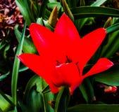 Rote Tulpe stockbilder