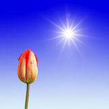 Rote Tulpe stock abbildung