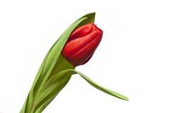 Rote Tulpe Stockbild