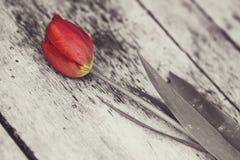 Rote Tulpe Stockfotografie