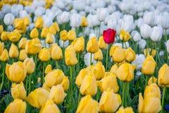 Rote Tulpe Lizenzfreies Stockfoto