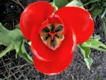 Rote Tulpe Lizenzfreie Stockfotos