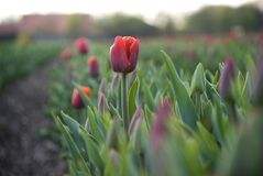 Rote Tulpe auf dem Gebiet Lizenzfreie Stockfotos