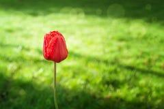 Rote Tulpe auf einem Hintergrund der Sonne und des Taus des grünen Grases morgens Stockfotografie