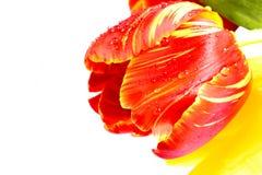 Rote Tulpe auf einem weißen Hintergrund Stockfoto