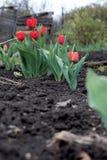 Rote Tulpe der Blumen wächst aus den Grund Stockbilder