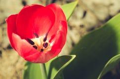 rote Tulpe der Feldblumen Gerade ein geregnet Schöne Wiese/schöne Naturszene mit blühender roter Tulpe, Nahaufnahme stockbilder