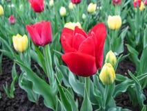 Rote Tulpe des Eldorados auf einem Frühlingsblumenbeet Lizenzfreies Stockfoto