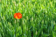 Rote Tulpe, die auf dem oppened Gebiet des Grüns nicht steht lizenzfreie stockbilder