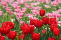 Rote Tulpe, die heraus steht Lizenzfreies Stockbild
