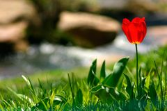 Rote Tulpe durch Strom Stockfotografie