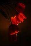 Rote Tulpe in einer Dunkelheit Lizenzfreies Stockbild