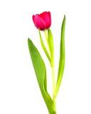 Rote Tulpe, getrennt Lizenzfreie Stockfotos