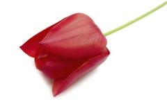 Rote Tulpe getrennt Lizenzfreie Stockfotos