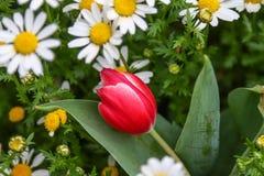 Rote Tulpe im daisiy Garten stockbild