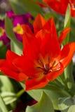 Rote Tulpe im Frühjahr Stockbild