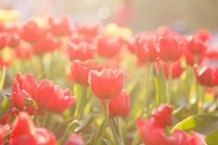 Rote Tulpe im Garten stockfotografie