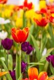 Rote Tulpe im Garten Lizenzfreie Stockfotografie