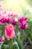 Rote Tulpe im Park Lizenzfreie Stockfotos