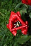 Rote Tulpe im Regen lizenzfreie stockfotos