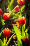 Rote Tulpe im Regen Lizenzfreies Stockfoto