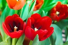 Rote Tulpe mit Blumen Stockfotos