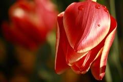 Rote Tulpe mit Wassertropfen Stockbilder