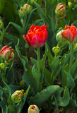 Rote Tulpe Tulpen eine knollenförmige Frühling-blühende Anlage der Lilie Lizenzfreie Stockfotos