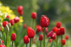 Rote Tulpe und Biene Stockfotografie