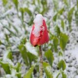 Rote Tulpe unter dem Schnee Lizenzfreie Stockfotografie