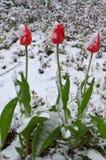 Rote Tulpe unter dem Schnee Stockfotografie