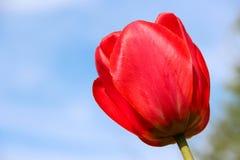 Rote Tulpe unter einem blauen sonnigen Himmel Stockfoto
