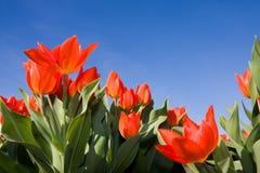 Rote Tulpeblumen auf blauem Himmel Stockfotografie